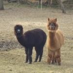 Unsere beiden Alpakas