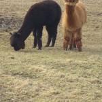Unsere beiden Alpakas beim Weiden